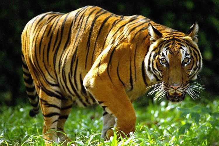 Asian Tigers